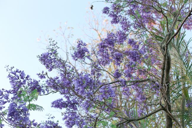 jacaranda l a splash of vanilla